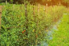Pomidoru ogród Zdjęcia Stock