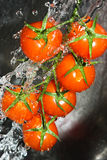 pomidoru winograd Obrazy Royalty Free
