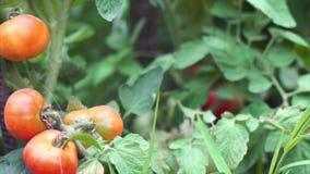 Pomidory zbiory