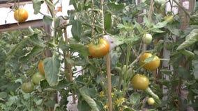 Pomidory dojrzewają na krzakach zbiory wideo
