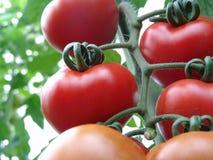 Pomidory na Almeria szklarni. Fotografia Royalty Free