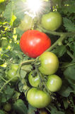 Pomidory na winogradzie Zdjęcia Royalty Free