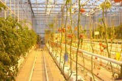 Pomidory narastający up w szklarni Obraz Royalty Free