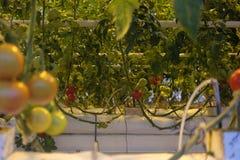 Pomidory narastający up w szklarni Zdjęcia Stock