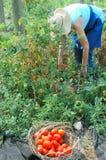pomidory organicznych Fotografia Royalty Free