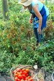 pomidory organicznych Obraz Stock