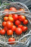 pomidory organicznych Zdjęcie Royalty Free