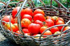 pomidory organicznych Obraz Royalty Free