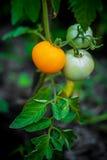 Pomidory r w kuchennym ogródzie Rewolucjonistki i zieleni pomidory na gałąź Obraz Stock
