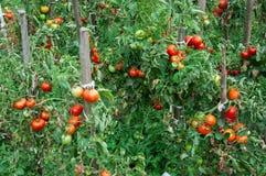 Pomidory r w ogródzie w lecie Zdjęcia Royalty Free