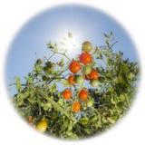 Pomidory w świetle słonecznym Zdjęcia Royalty Free
