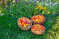 Pomidory w drewnianym koszu na trawie zdjęcie stock