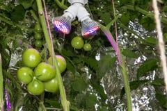 Pomidory w latarni morskiej Obrazy Stock