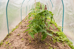 Pomidory w mini szklarni Fotografia Stock