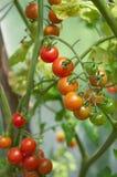 Pomidory w ogródzie Obraz Royalty Free