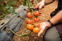 Pomidory w ogródzie cią z nożycami w mężczyzna ręce przed colections dla sprzedaży Jarzynowy ogród z roślinami czerwoni pomidory fotografia royalty free