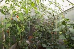Pomidory w szklarni Fotografia Stock