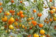 Pomidory w szklarni Zdjęcie Royalty Free