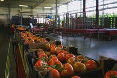 Pomidory zawijający w pudełkach przygotowywających dla transportu zdjęcie stock
