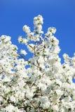 Pomme-arbre de floraison de branchement Photo libre de droits