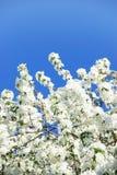 Pomme-arbre de floraison de branchement Photographie stock libre de droits