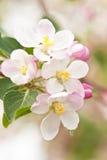 Pomme-arbre de floraison de branchement Photographie stock