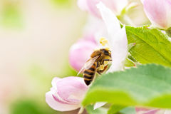 Pomme-arbre de floraison de branchement Photo stock