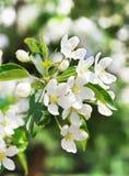 Pomme-arbre de floraison de branchement Photos stock
