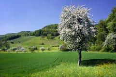 Pomme-arbre de source Photos libres de droits