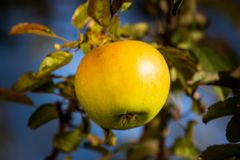 pomme blanche sur l'arbre dans le verger dans le matin pendant le lever de soleil avec la rosée avant de sélectionner le gala roy photo libre de droits