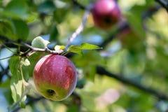 Pomme brillante Image libre de droits