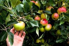 Pomme caucasienne de cueillette de main d'un pommier mûr image stock