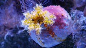 Pomme colorée et ronde de mer de concombre de mer clips vidéos