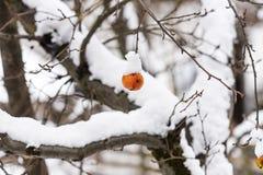 Pomme couverte de neige surgelée accrochant sur un arbre photographie stock