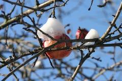 Pomme 6 d'hiver Images libres de droits