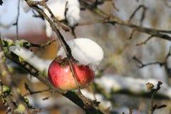 Pomme 1 d'hiver Images libres de droits