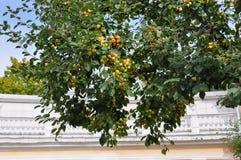 Pomme de couronne avec une récolte image libre de droits