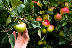 Pomme de cueillette de main de pommier mûr photos libres de droits