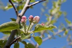 Pomme de fleur Photos libres de droits