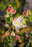 Pomme de floraison photo libre de droits