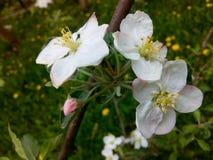 Pomme de floraison Images stock