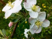 Pomme de floraison Images libres de droits
