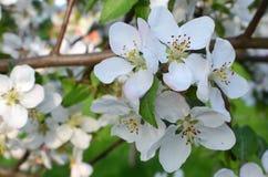 Pomme de floraison Photographie stock