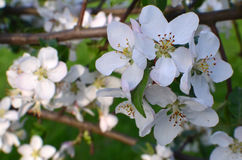 Pomme de floraison Photographie stock libre de droits