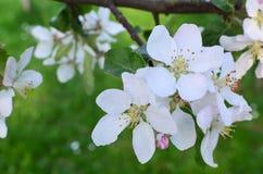 Pomme de floraison Image stock