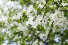 Pomme de floraison au printemps Image stock