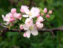 Pomme de floraison, pomme fleurissante Fin vers le haut Fond solaire de ressort, papier peint de photo image stock