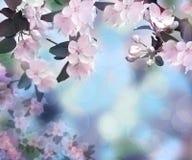 Pomme de floraison Le printemps… a monté des feuilles, fond naturel Fond Aube dans le jardin photo stock