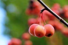 Pomme de forêt Image libre de droits
