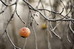 Pomme de l'hiver Photos stock